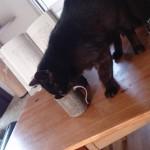 コーヒーが好きな猫