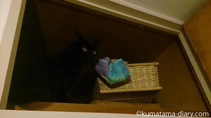 バスタオルを引っ張りだす猫