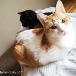 枕を占領する猫たち