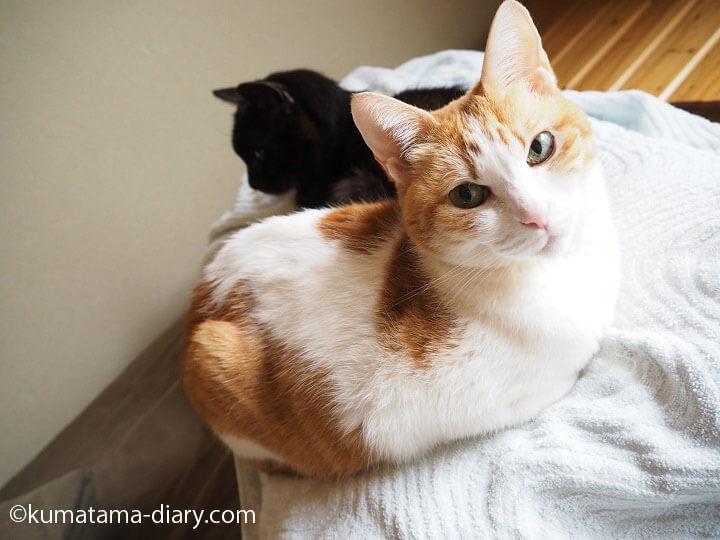 枕を占領するネコたち