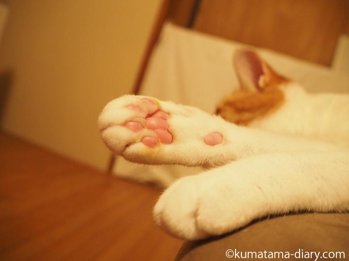 茶トラ白猫の肉球