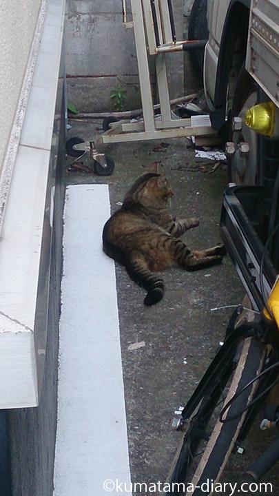 駐車場のキジトラ猫