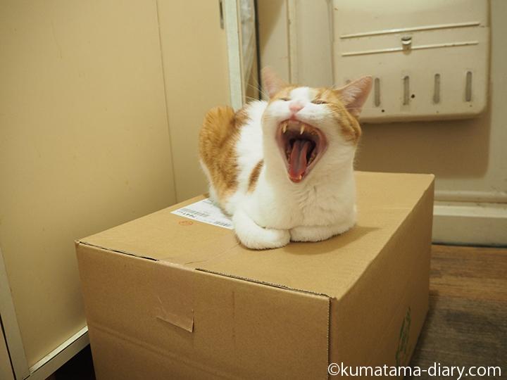段ボールの上であくびをする猫