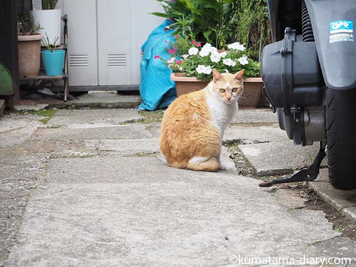 茶トラ白猫