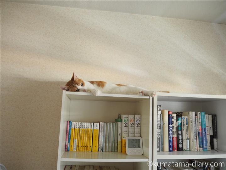 本棚の上で寝る猫