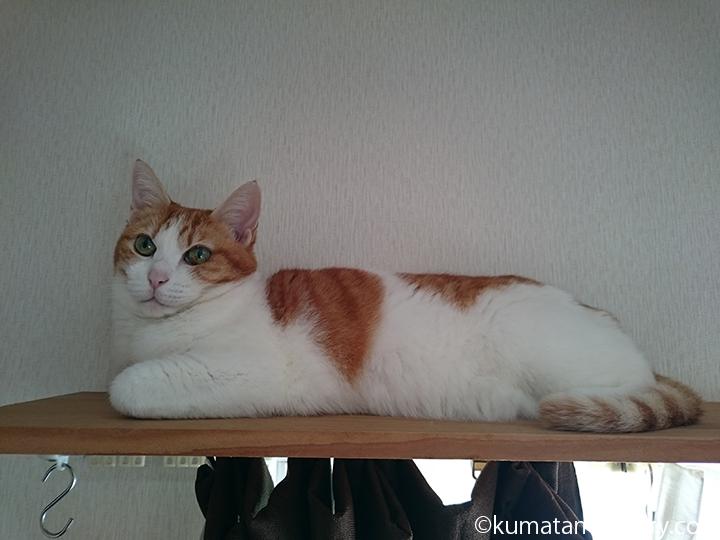 カーテンレールの上の猫