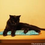 猫の暑さ対策はクーラーと「クールアルミジェルマット」