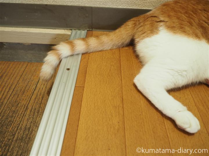 しっぽが玄関に落ちている猫
