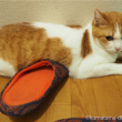スリッパの上で寝る猫