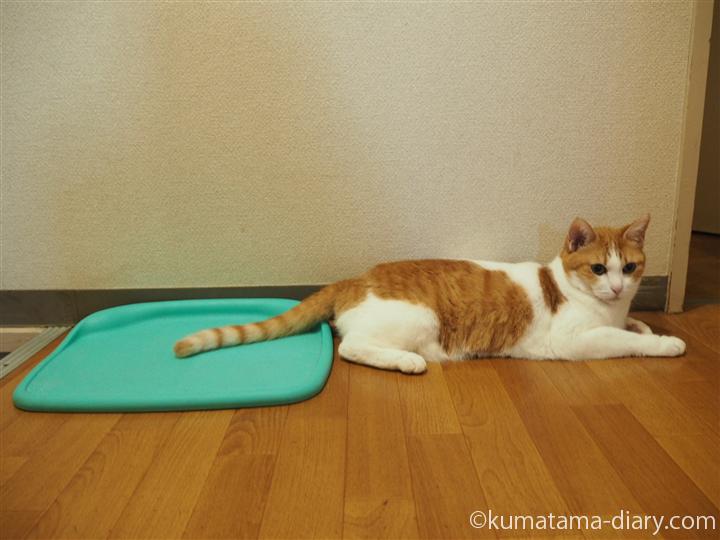ひんやりマットにしっぽを乗せる猫