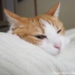 猫と枕の争奪戦