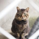 近所のキジトラ猫