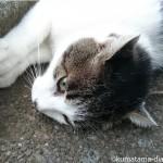 近所のキジトラ白猫さんと茶トラ白猫さん