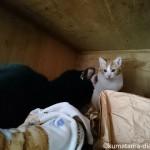 威嚇する猫に大人の対応を見せる黒ねこ【天袋でのケンカもどき】