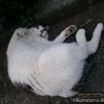 道路でごろんごろんするキジトラ白猫さん【動画】