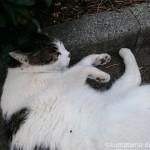 猫に目の前でゴロンゴロンされる幸せ~近所のキジトラ白猫さん~