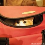 キャリーバッグに自ら入る猫