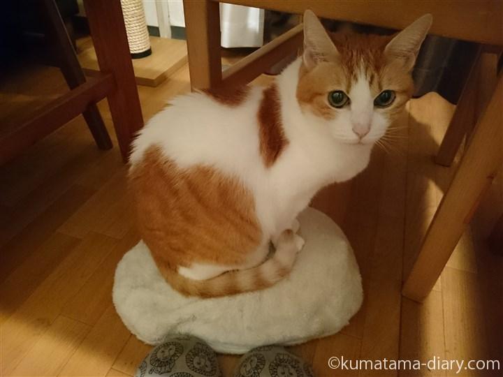 床に置いた湯たんぽに乗る猫