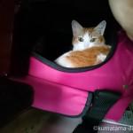 押入れのキャリーバッグに入る猫