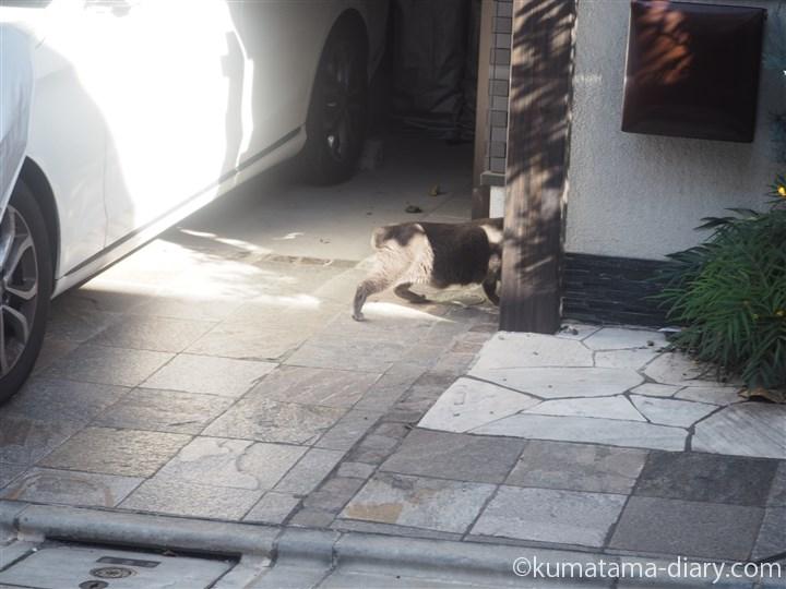 三宿のグレー猫さん