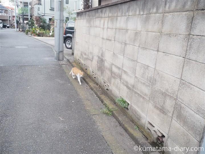 茶トラ白猫さんを発見