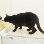 風呂場で水道の蛇口から直接水を飲む猫【動画】