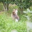 入間川キジトラ白猫