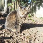 高麗神社のキジトラ猫さん