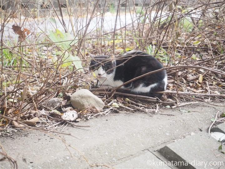 入間川黒白猫