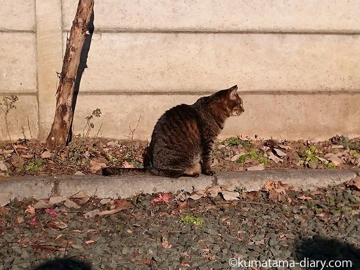 高麗神社キジトラ猫横