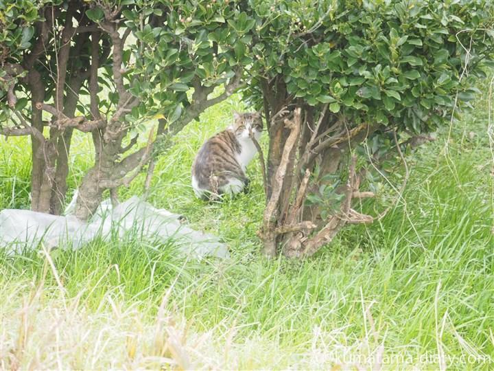 キジトラ白猫発見