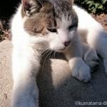 茶畑でお昼寝中のキジトラ白猫さん