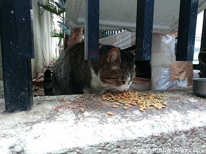 エサを食べるキジトラ白猫さん