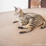 狭山市の保護猫カフェ「funnycat(ファニーキャット)」でオシキャットを初めて見ました