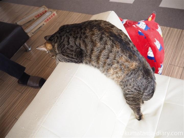 体を乗り出すキジトラ猫さん
