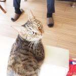 スリッパに興味津々のキジトラ猫さん【動画】