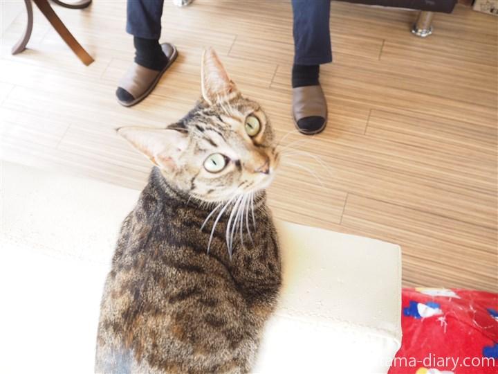 コチラを見るキジトラ猫さん