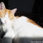 カリモク60のKチェアで一緒にひなたぼっこする猫たち