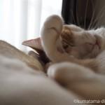 枕の上で一心不乱に体をなめる猫