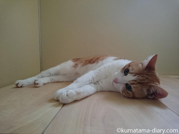 お風呂のフタで転がる猫