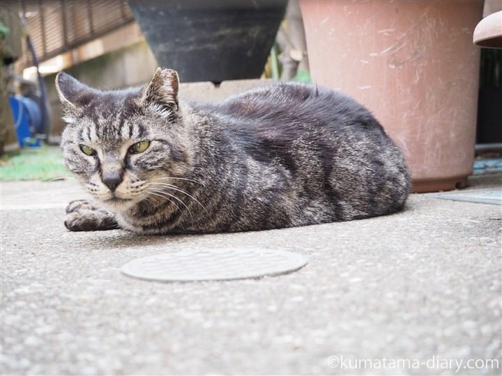 寄り目のキジトラ猫さん