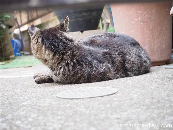 寄り目のキジトラ猫さん後ろ