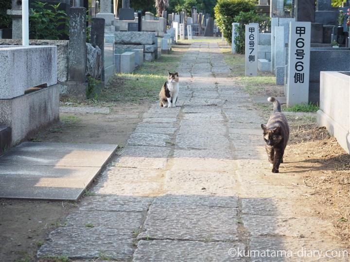 移動するサビ猫さん