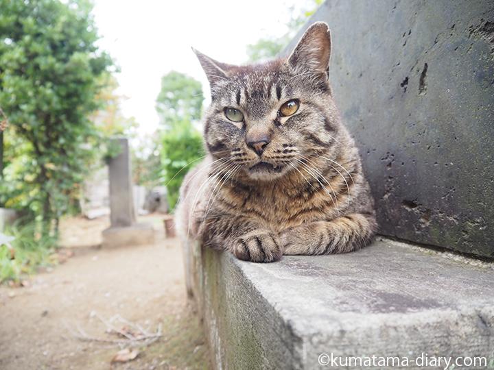 オッドアイのキジトラ猫さん