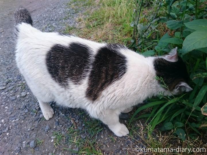 草を食べるキジトラ白猫さん