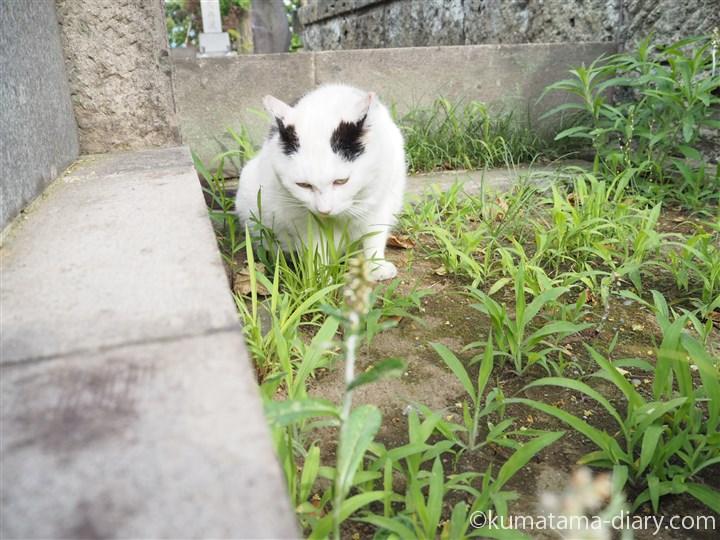 草を食べる白黒猫さん