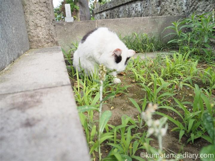 草を食べる白黒猫さん2