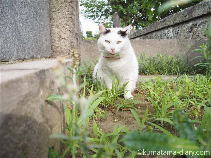 白黒猫さん舌