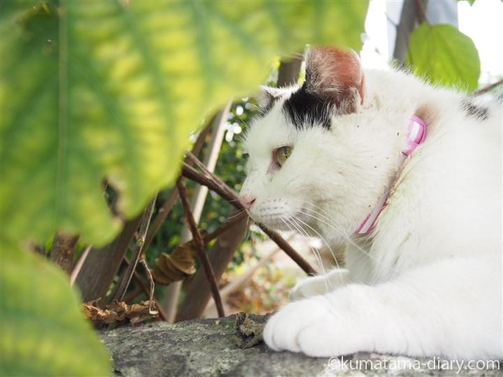白黒猫さん横顔