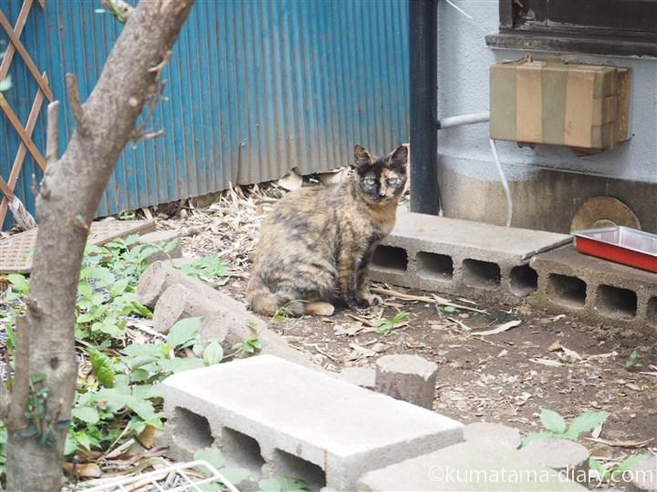 川越のサビ猫さん